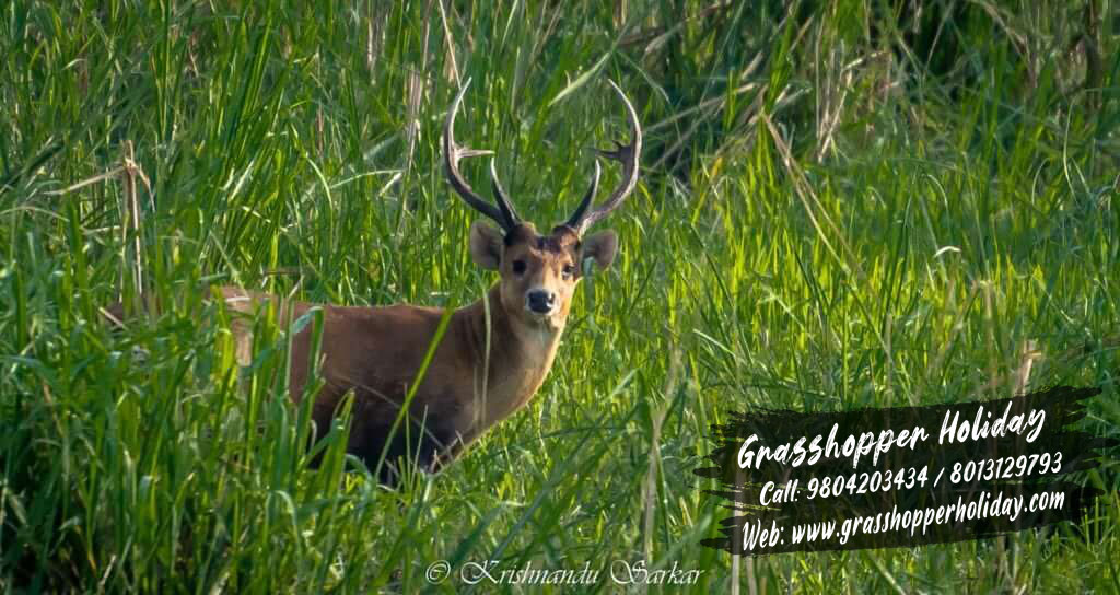 Gorumara national park samber deer , Dooars package tour.