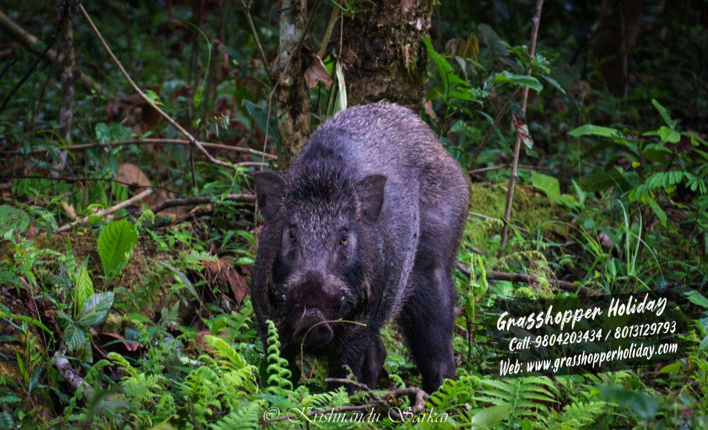 gorumara_wild_boar dooars package tour