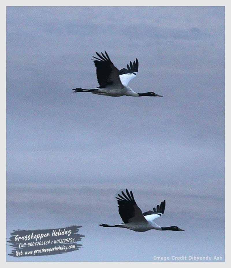 Black-necked-Crane-Phobjika-Bhutan