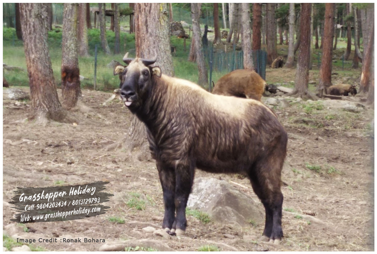 Motithang Takin Preserve - top attraction of Thimphu